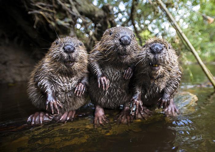 10+ Adorable Baby Beavers To Celebrate International Beaver Day