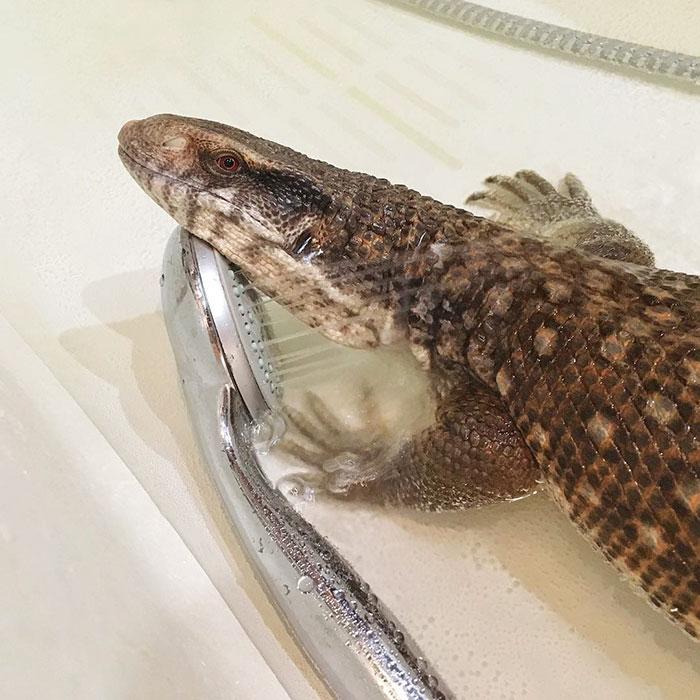 cute-lizard-pet-cuddles-savannah-monitor-astya-lemur-30