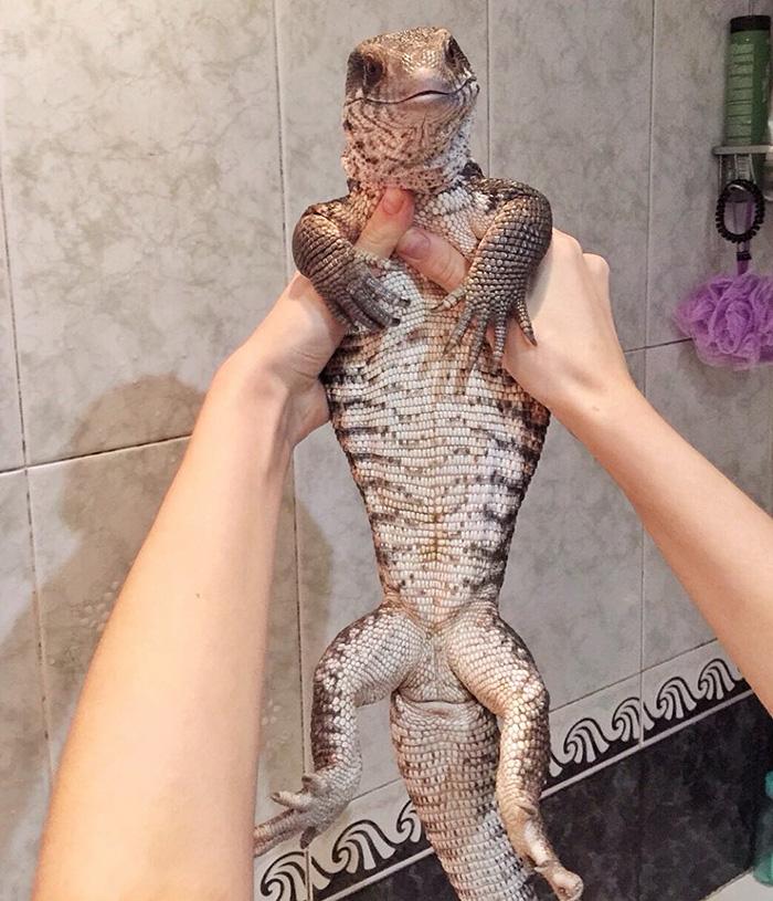 cute-lizard-pet-cuddles-savannah-monitor-astya-lemur-43