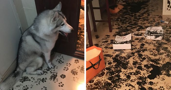 Family Leaves Husky For 3 Hours, Dog Redesigns The Apartment