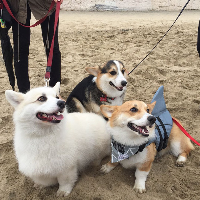 dog-party-so-cal-corgi-beach-day-10