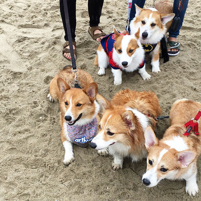 dog-party-so-cal-corgi-beach-day-20