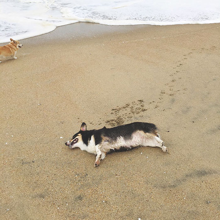 dog-party-so-cal-corgi-beach-day-22