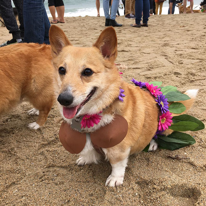 dog-party-so-cal-corgi-beach-day-29