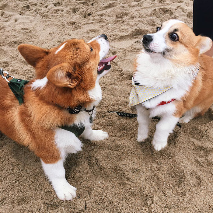 dog-party-so-cal-corgi-beach-day-30