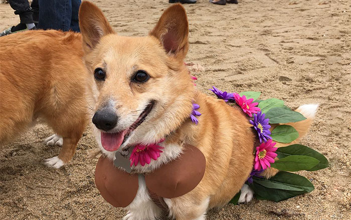 600+ Corgis Had A Massive Beach Pawty This Weekend, No Cats Allowed