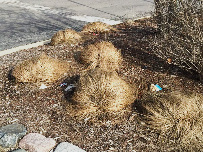 donald-trump-hair-growing-prairie-dropseed-tromso-norway-1