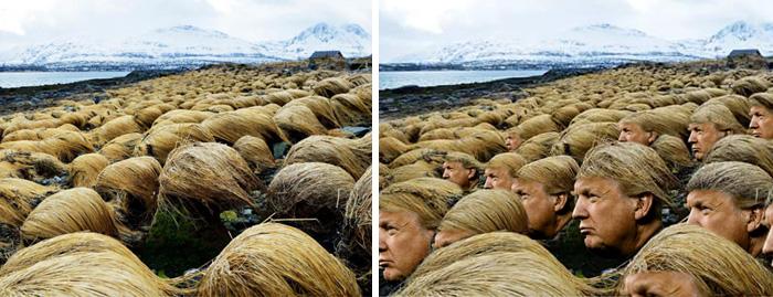 donald-trump-hair-growing-prairie-dropseed-tromso-norway-7