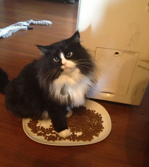 So My Cat Absolutely Has To Lay In The Food Dish When She Eats