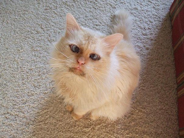 Chucky, My Birman Cat
