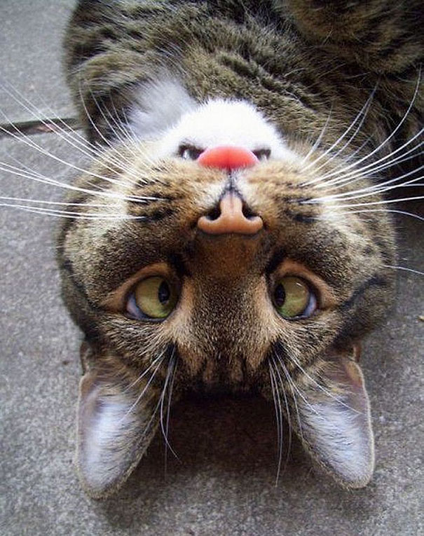 Upside-down Derp Cat Has Right-side Up Angry Beaver On His Face