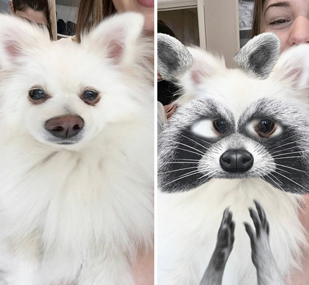 Dog Or Raccoon?