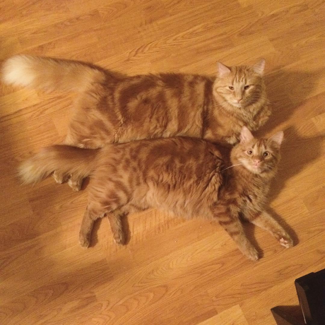 ginger-cat-adopts-mini-me-evin-minnie-1