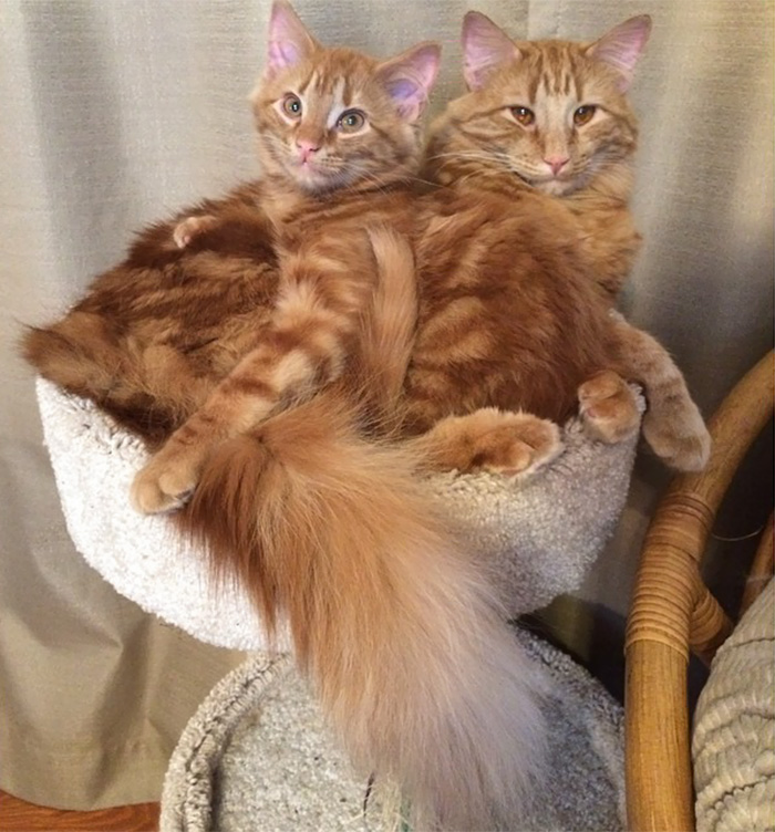 ginger-cat-adopts-mini-me-evin-minnie-11