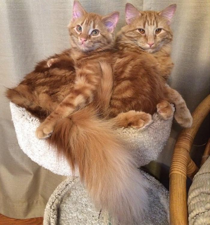 ginger-cat-adopts-mini-me-evin-minnie-11