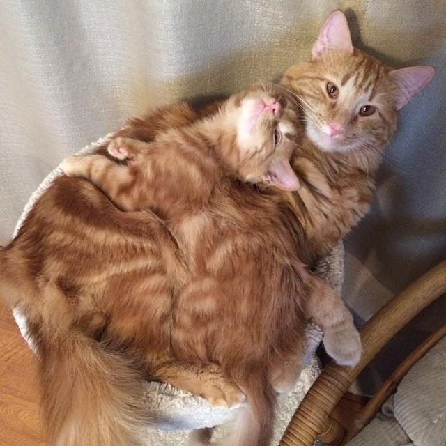 ginger-cat-adopts-mini-me-evin-minnie-12