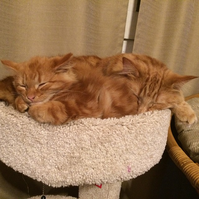 ginger-cat-adopts-mini-me-evin-minnie-14