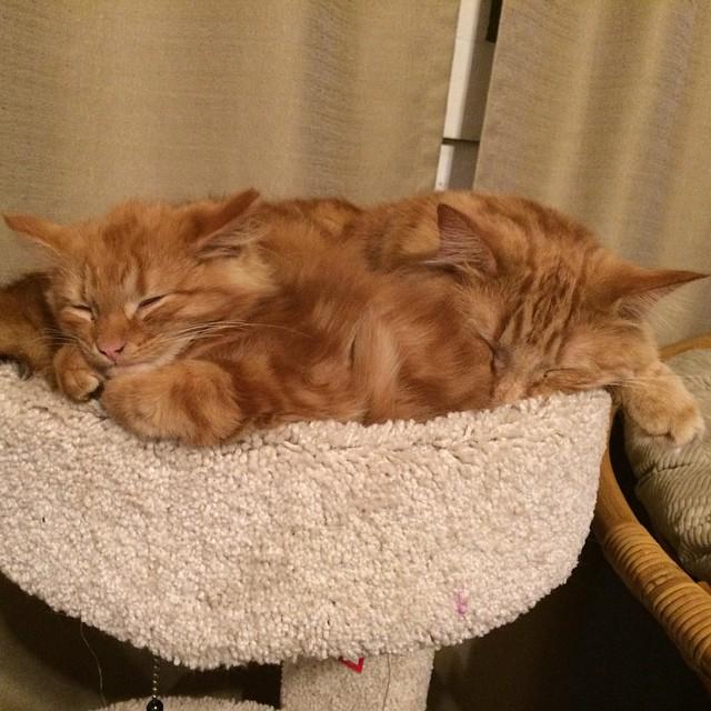 ginger-cat-adopts-mini-me-evin-minnie-14