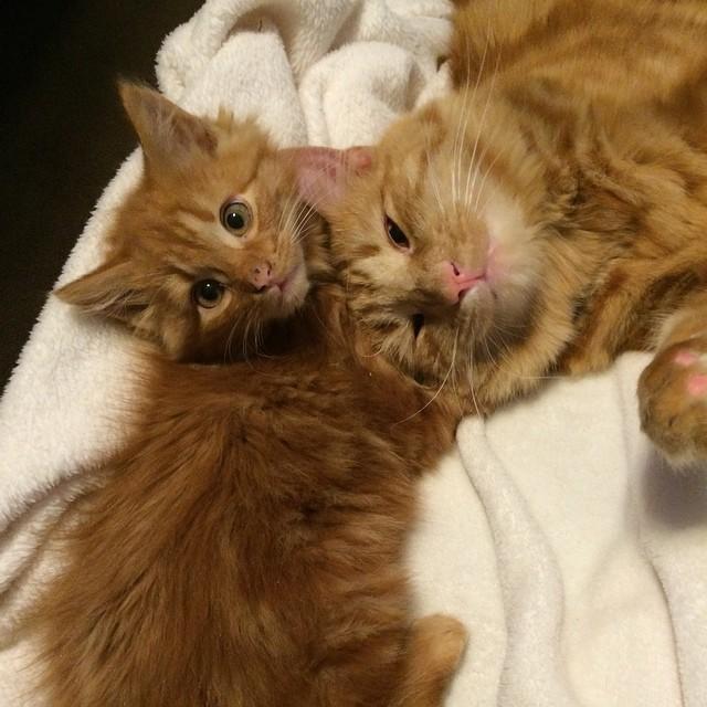 ginger-cat-adopts-mini-me-evin-minnie-20