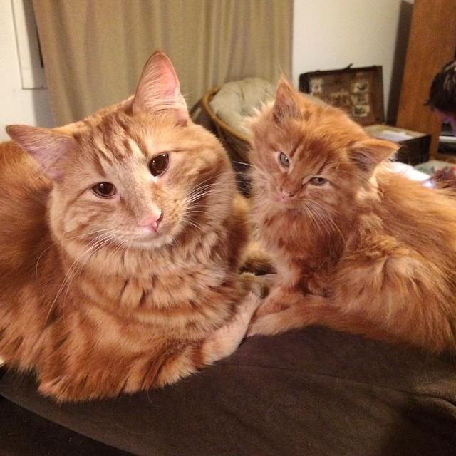 ginger-cat-adopts-mini-me-evin-minnie-27