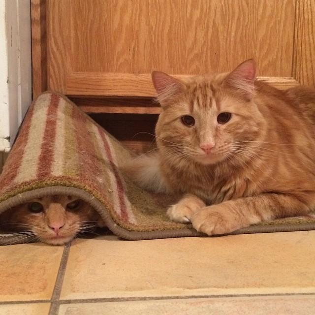 ginger-cat-adopts-mini-me-evin-minnie-3