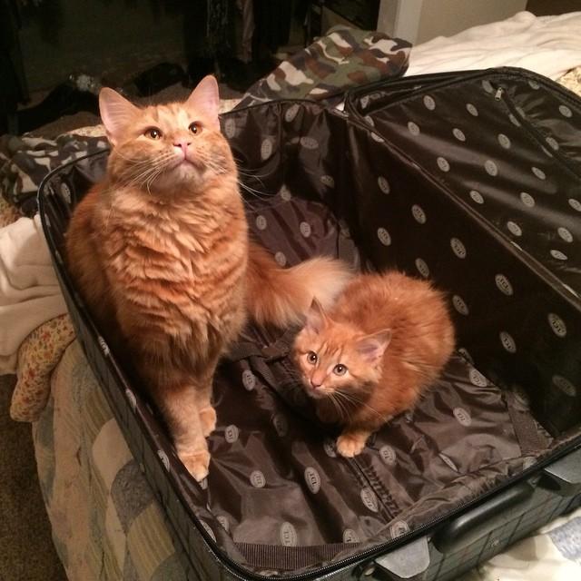 ginger-cat-adopts-mini-me-evin-minnie-34