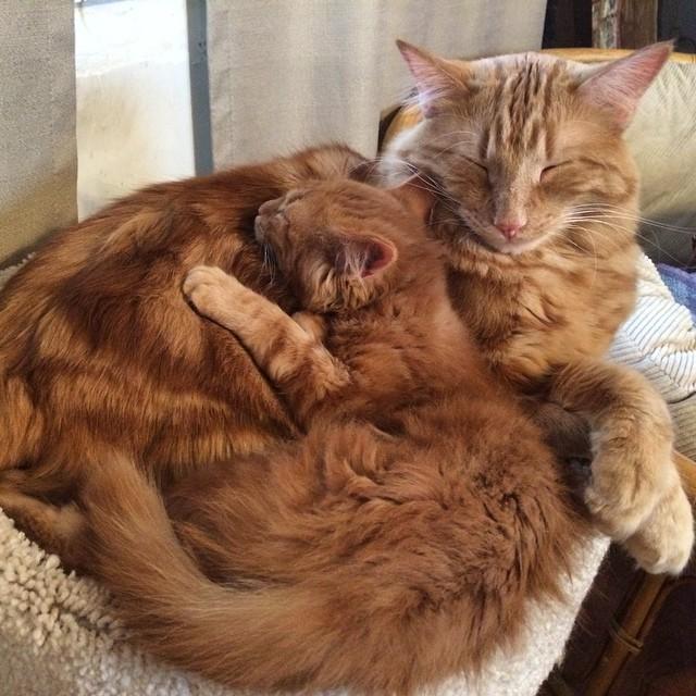 ginger-cat-adopts-mini-me-evin-minnie-38