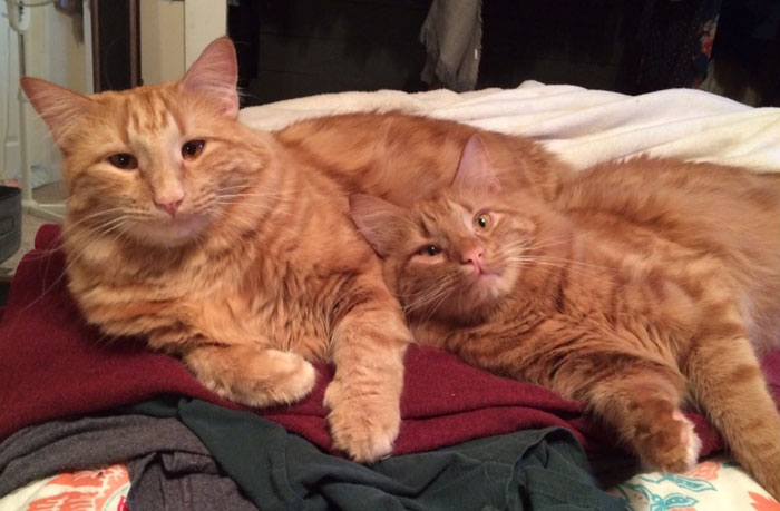 ginger-cat-adopts-mini-me-evin-minnie-41
