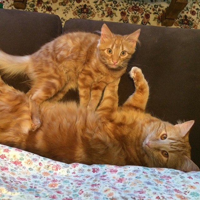 ginger-cat-adopts-mini-me-evin-minnie-5