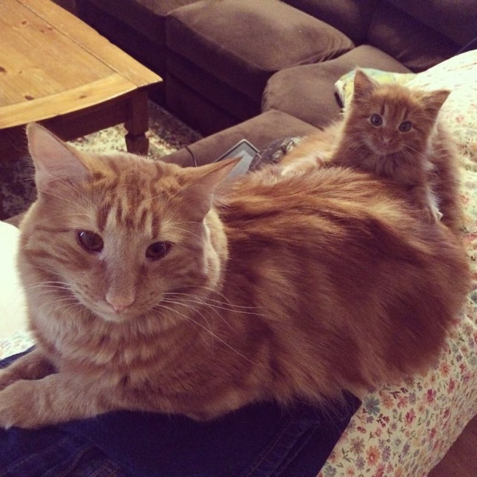 ginger-cat-adopts-mini-me-evin-minnie-50