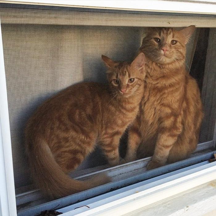 ginger-cat-adopts-mini-me-evin-minnie-52