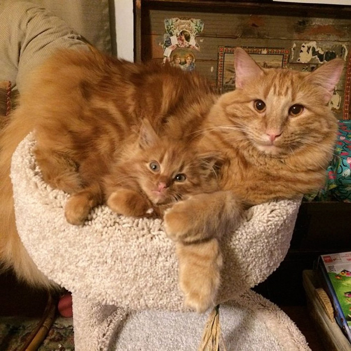 ginger-cat-adopts-mini-me-evin-minnie-53
