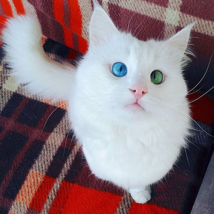Snow-White Cat Has The Most Hypnotizing Eyes Of Different Color