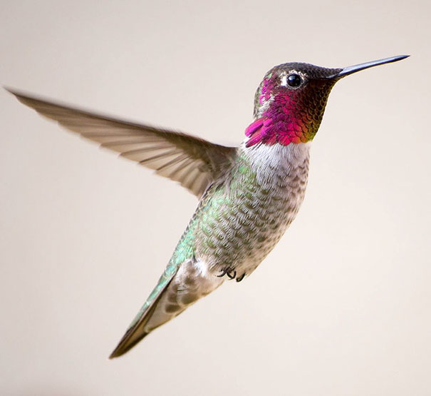 hummingbird-photography-tracy-johnson-california-3