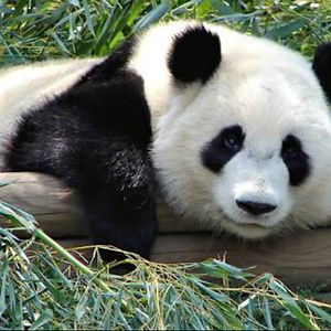 Panda Lover