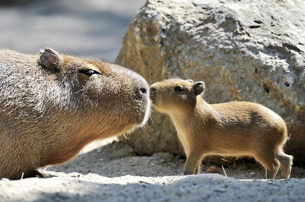 Capybara Love ❤️
