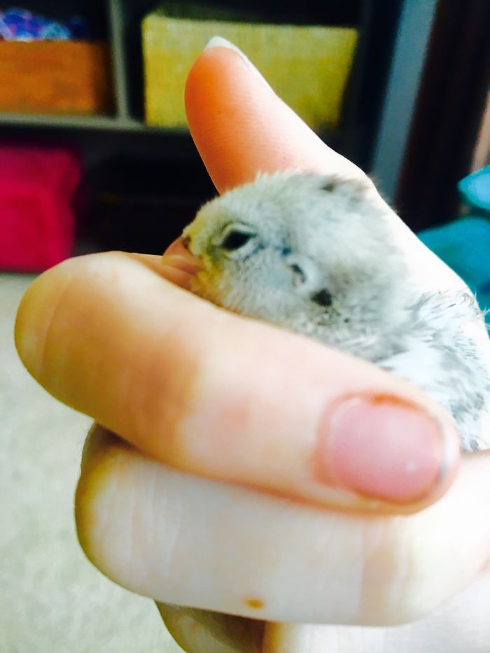 We Photographed Our Snowflake Quail Chicks And Immediately Regretted It!