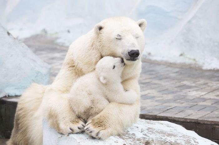 Adorable Polar Bear Cubs (10+ Pics)