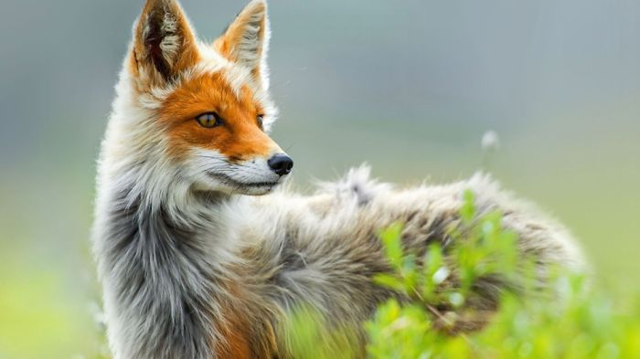 Beautiful Photos Of Foxes (10+ Pics)