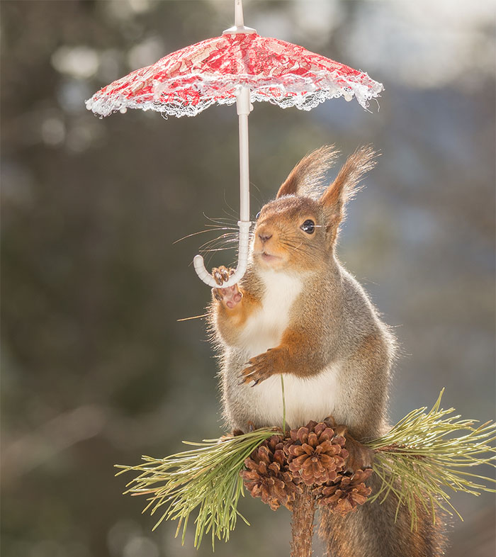 I Take Pictures Of Wild Red Squirrels Using Tiny Umbrellas