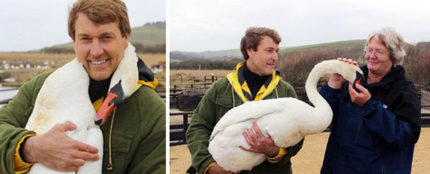 injured-swan-hugs-man-richard-wiese-born-to-explore-abbotsbury-swannery-12