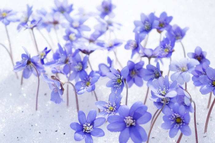 Violets' Choir