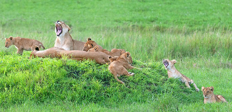 lion-cubs-family-portrait-barbara-fleming-serengeti-loliondo-conservation-3