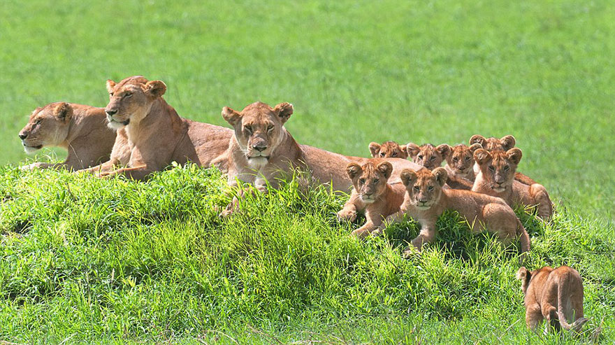 lion-cubs-family-portrait-barbara-fleming-serengeti-loliondo-conservation-4