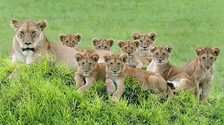 lion-cubs-family-portrait-barbara-fleming-serengeti-loliondo-conservation-5