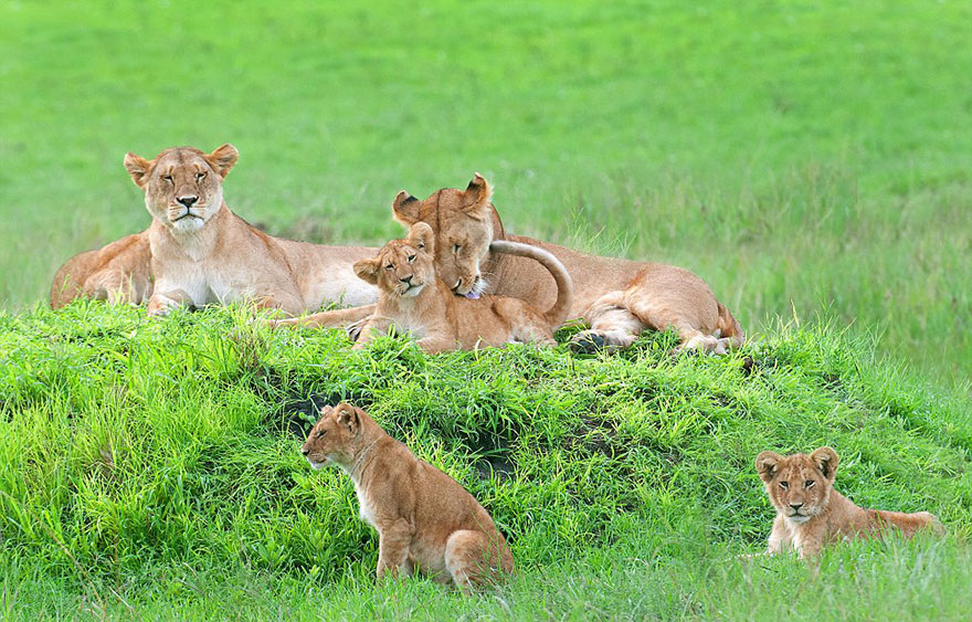 lion-cubs-family-portrait-barbara-fleming-serengeti-loliondo-conservation-6