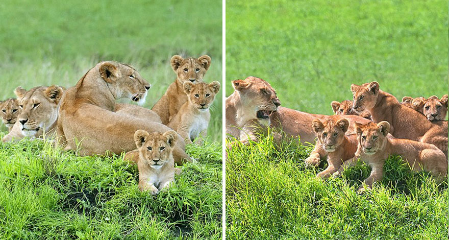 lion-cubs-family-portrait-barbara-fleming-serengeti-loliondo-conservation-9