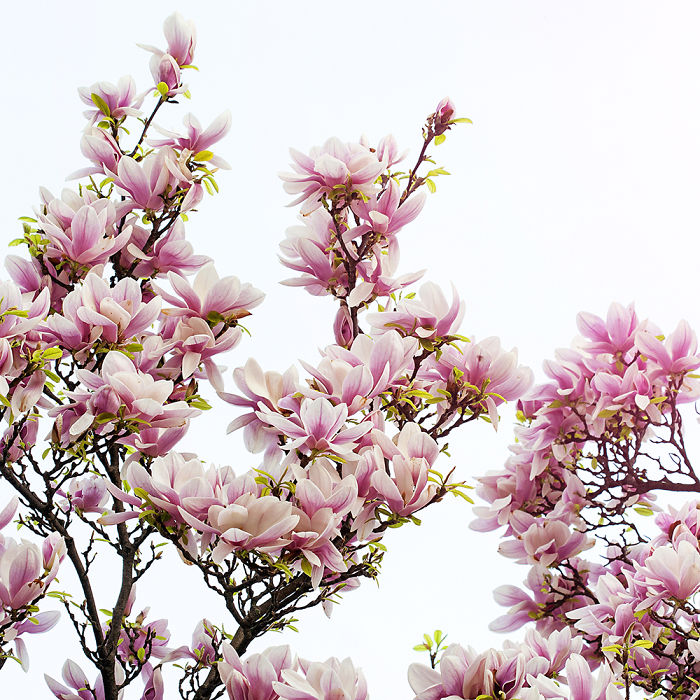 I Photographed My Favorite Spring Tree, The Magnolia, At Its Best