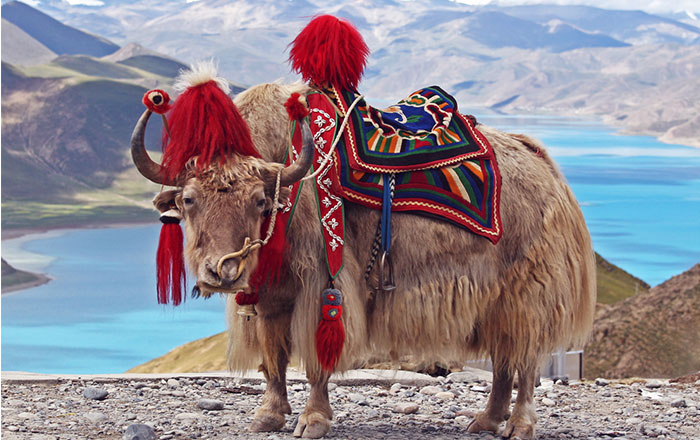 Guy Accidentally Buys A YAK After Taking Sleeping Pills
