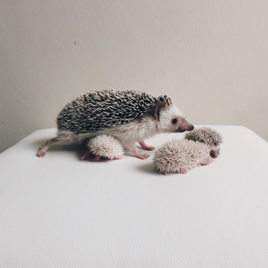 minimal-hedgehog-pictures-hogybaby-picture3